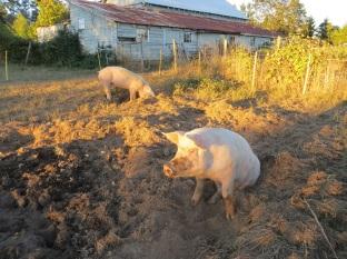 Happy hogs, 6 months